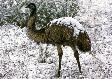 Emus in the snow