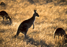 soft focus Kangaroos Namadji National Park JPEG 1920